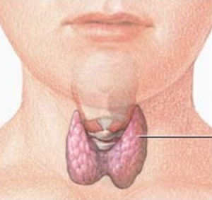Throid gland in the neck